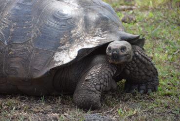 GoForCruise-ZuidAmerika-Ecuador-Galapagos-schildpad