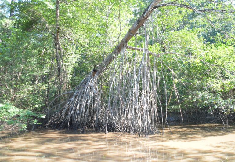 Go For Cruise Costa Rica Azamara Club Cruises mangrove