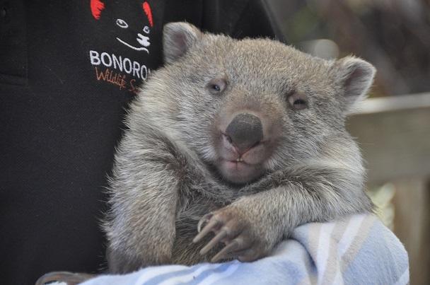 Go For Cruise Australie wombat